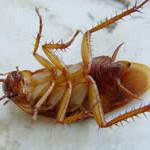 Жители США смогут управлять тараканами